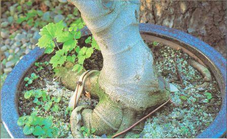 почва для пересадки Бонсай