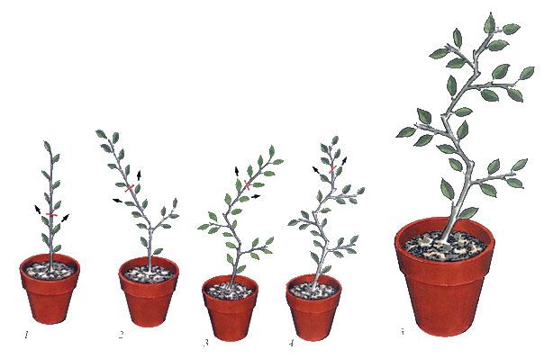 Как посадить бонсай не из семян в домашних условиях 633
